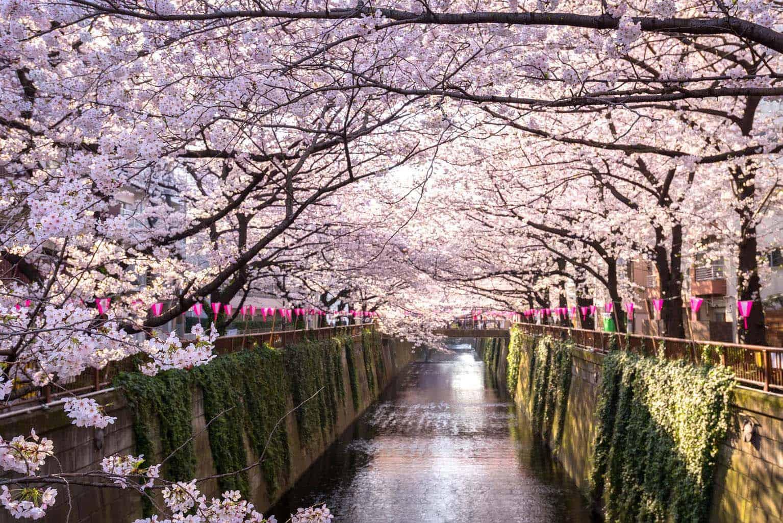 Tokyo's Best Cherry Blossom